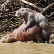 Horny Little Capybaras